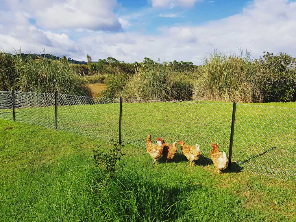 Chickens roaming free